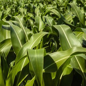 DHS designates fertilizer workers as 'essential'